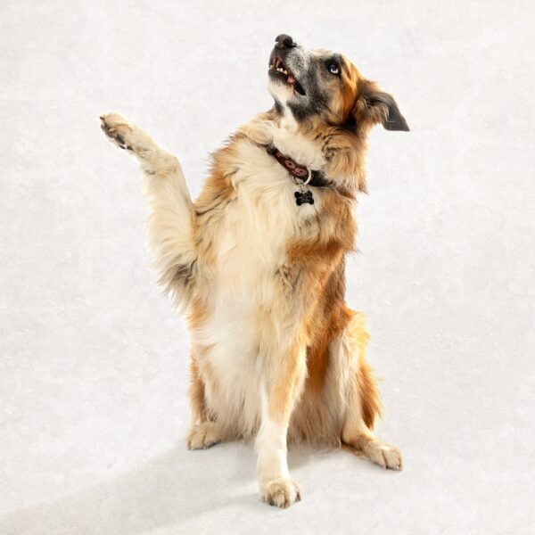 dog with paw in air dog photography wirral