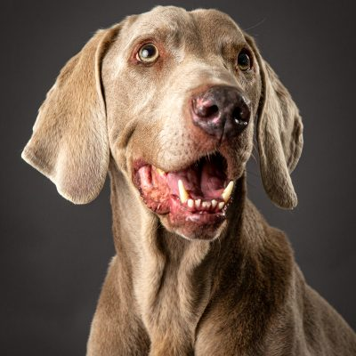 fun pet photograph of dog on grey background