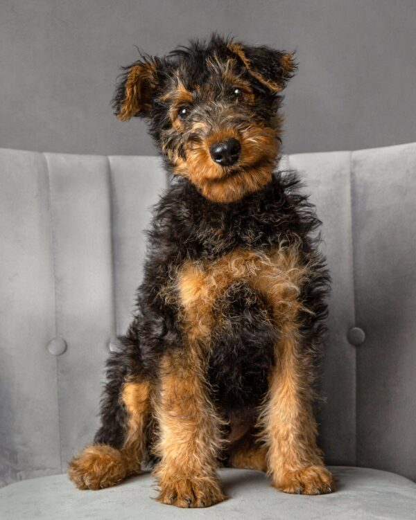 airedale puppy offley photography