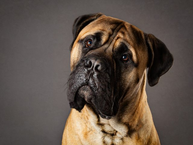 Bullmastiff dog edited photograph by Offley Photography Before & After