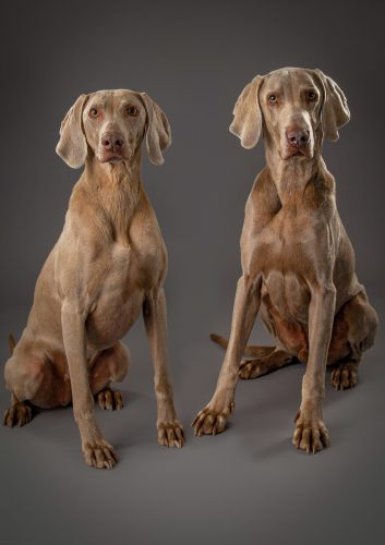 weimaraner dog photography