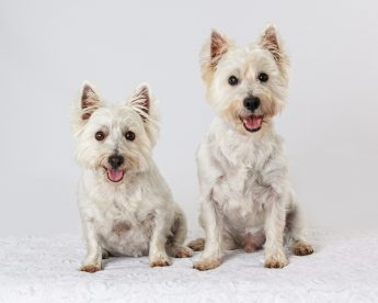 west highland terrier photo shoot